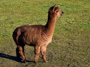 Young brown alpaca standing in a pasture.