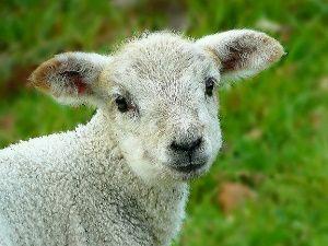 Head of a lamb gazing into the camera.