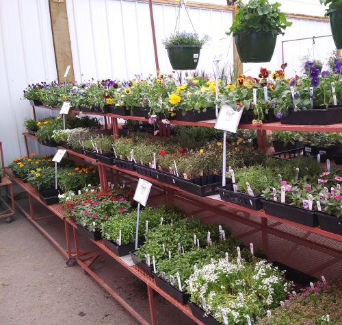 Shelving in greenhouse that contains flowers and bedding plants.